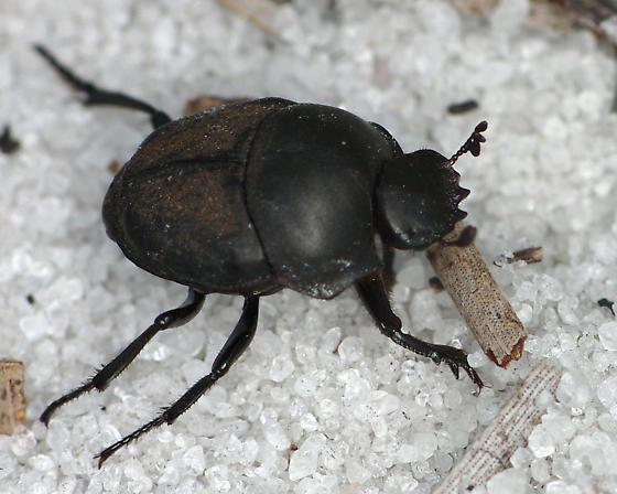 Dung beetle? - Melanocanthon
