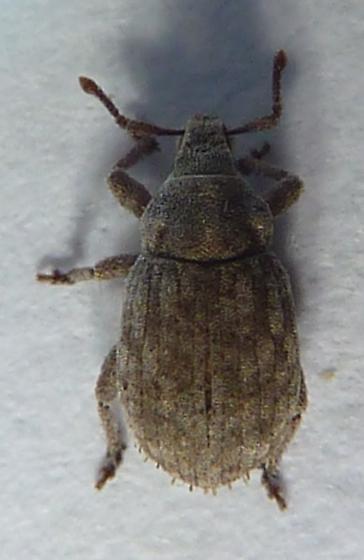 unknown weevil - Romualdius scaber
