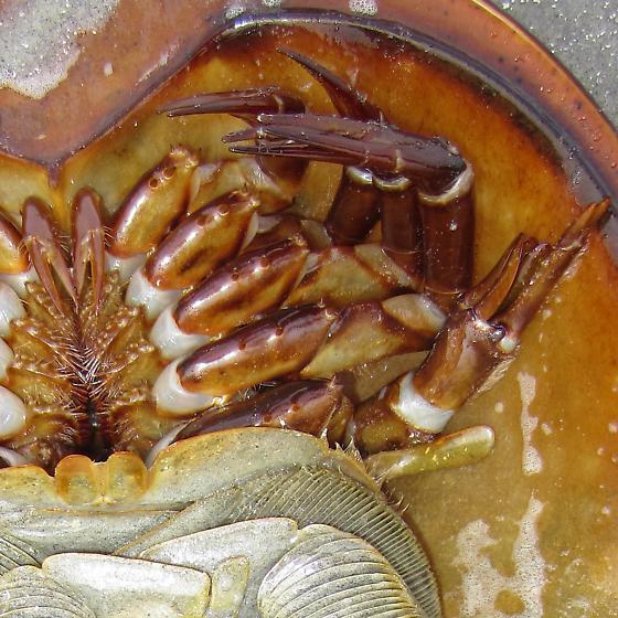 Atlantic horseshoe crab - Limulus polyphemus