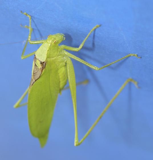 Green Alien Bug - Amblycorypha oblongifolia - male