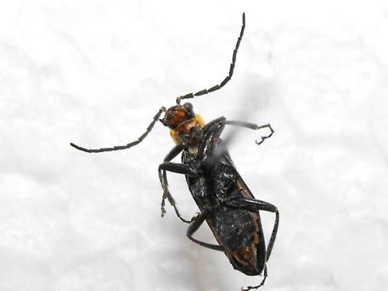 Soldier Beetle - Cantharis aneba