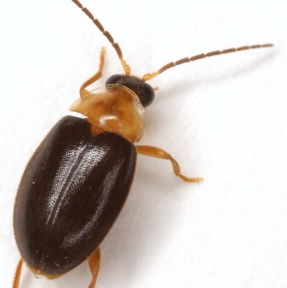 Sacodes thoracica (Guérin-Méneville) - Sacodes thoracica