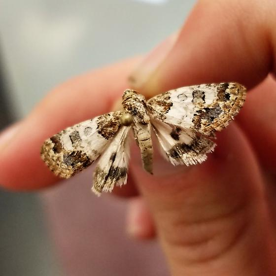 Small moth white with checkered brown spots