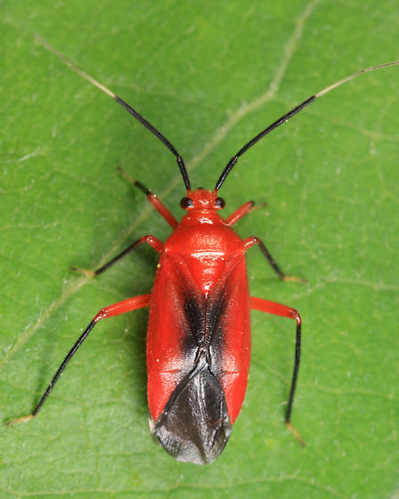 Mirid - Coccobaphes frontifer - male