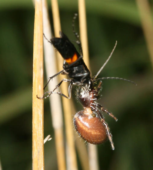 Wasp with spider - Sericopompilus apicalis - female