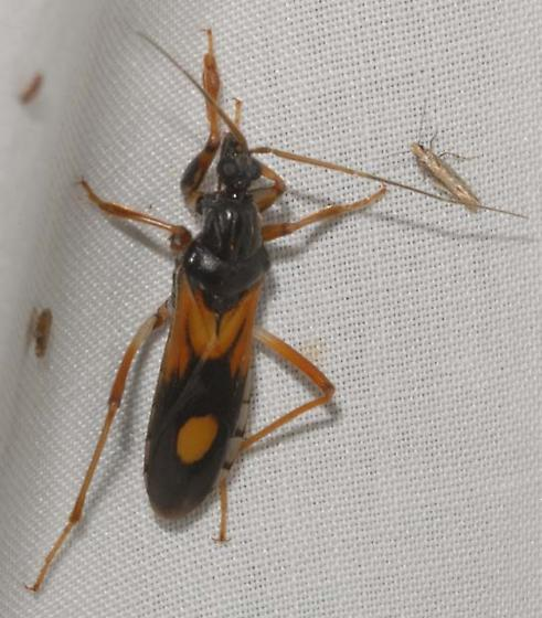 Reduviidae - Rasahus biguttatus