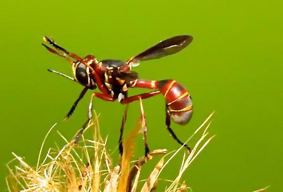 Thread-waisted Wasp? - Physoconops