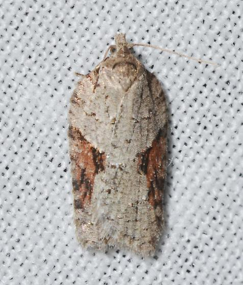 Acleris ptychogrammos - probable - Acleris ptychogrammos