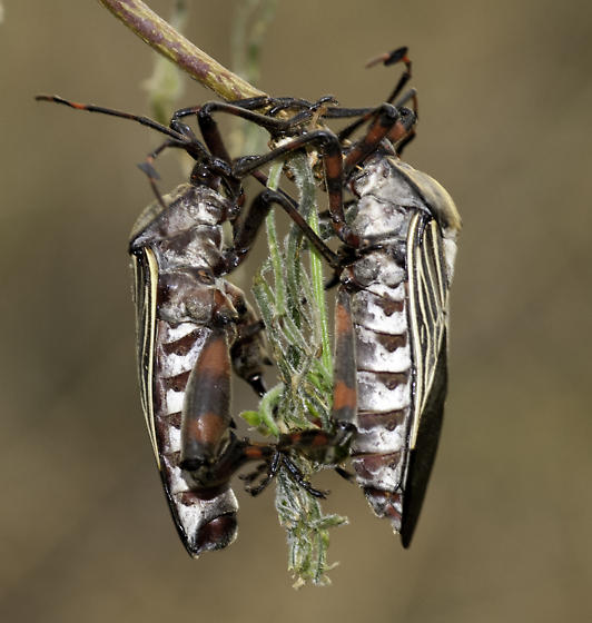 Mesquite - Thasus neocalifornicus - male - female