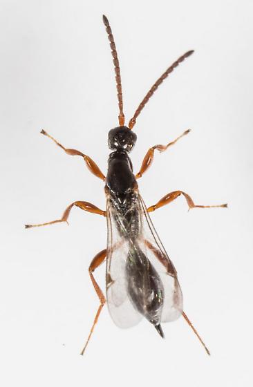 Wasp - Exallonyx