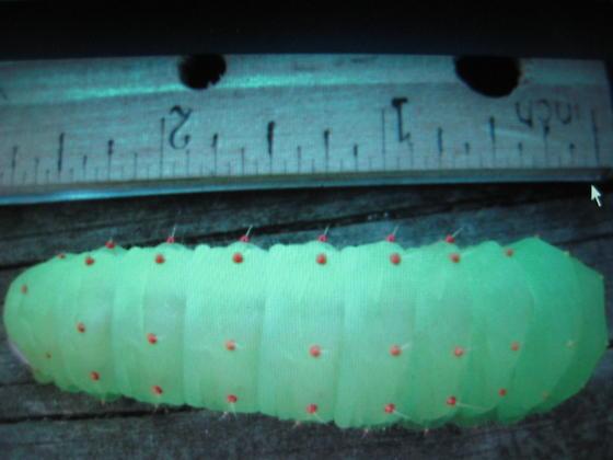 Big Green Caterpillar - Actias luna