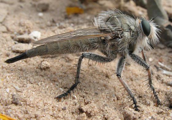 Robber fly - Efferia bicaudata