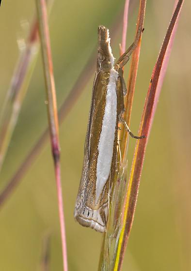 Unidentified moth - Crambus