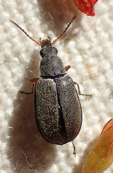 Velvety tan beetle - Mycterus canescens