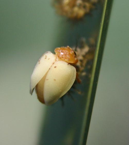 Lady Beetle?? - Chilocorus circumdatus