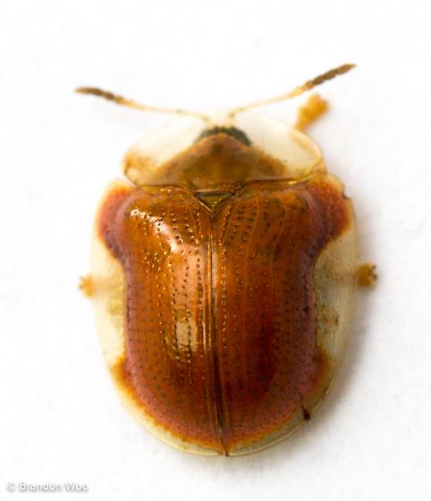 Charidotella purpurata