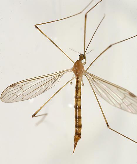 Crane Fly - Elephantomyia westwoodi - female