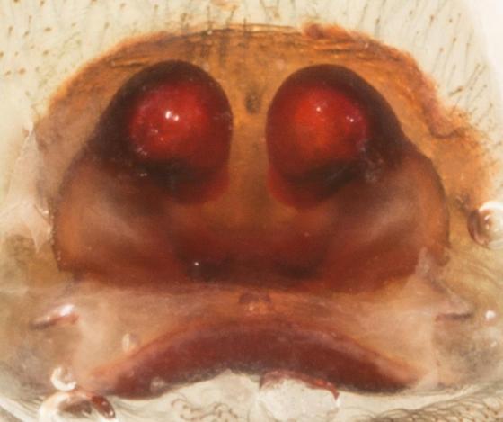 Spider - Amaurobius ferox - female