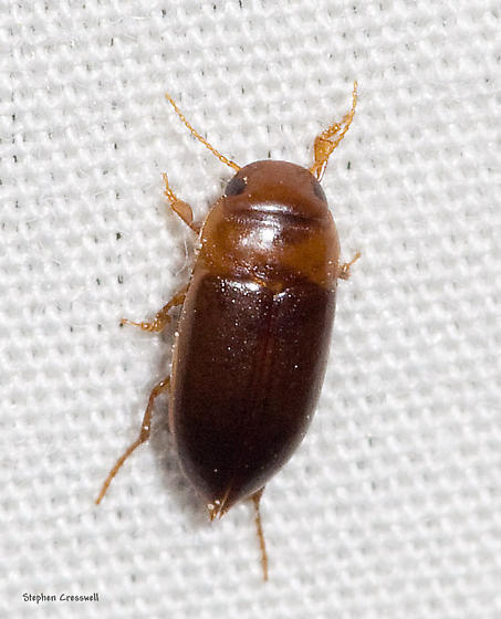 Charles City County Beetle - Celina