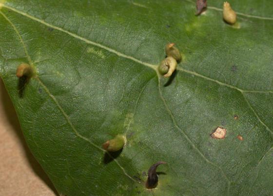 Basswood/Linden Galls [=Phytopus abnormis?] ID Request