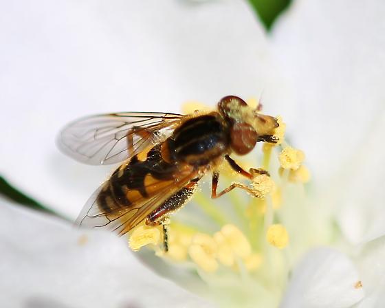 Possible Lejops lineatus - Lejops lineatus - male