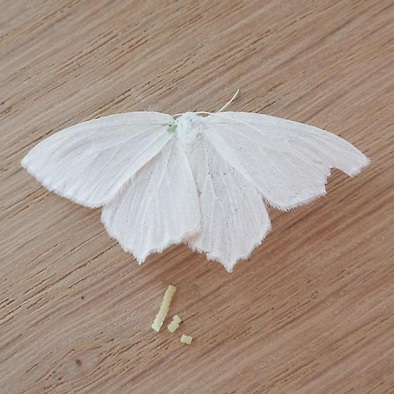 Snowy Geometer (Eugonobapta nivosaria)  - Eugonobapta nivosaria - female