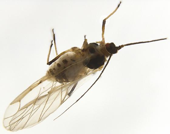 Aphididae - Hyperomyzus lactucae