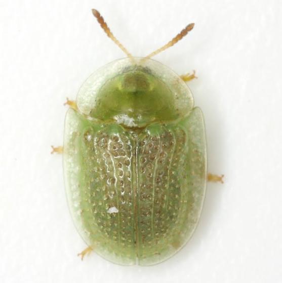 Gratiana pallidula (Boheman) - Gratiana pallidula