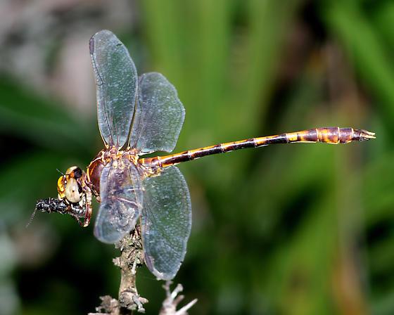 Clubtail? - Progomphus alachuensis