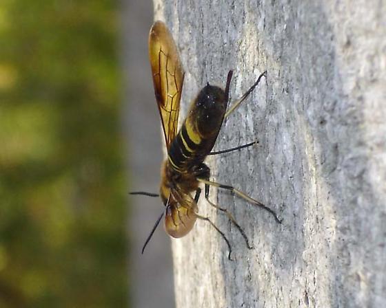 Wagging wasp 640 - Eriotremex formosanus
