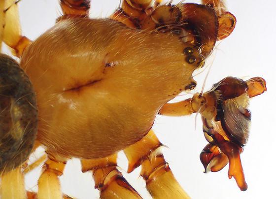 Detail of carapace, eyes and pedipalp: BG:469736 - Eriophora ravilla - male