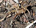Huge spider - Rabidosa santrita