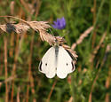 Cabbage White - Pieris rapae - male