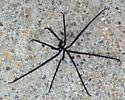 Black bodiless spider
