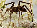 dark fishing spider on nursery web - Dolomedes scriptus - female