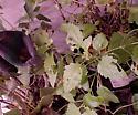 Orpheus' munched leaves: Ageratina havanensis - Oecanthus varicornis - male