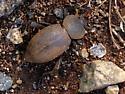 Desert Stink Beetle - Eleodes