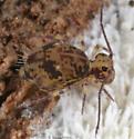 springtail - Ptenothrix beta