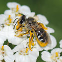 Halictus Farinosus? - Lasioglossum sisymbrii