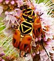 Delta Flower Scarab - Trigonopeltastes delta - male - female