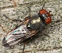 Small Fly with red eyes and black-tipped wings - Euxesta