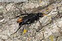 spider-wasp - Entypus unifasciatus