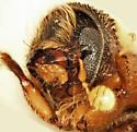 Pityoborus comatus f - Pityoborus comatus - male