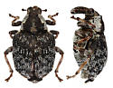 Unknown weevil - Pelenomus fuliginosus
