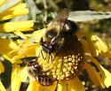 Bombus  color morph - Bombus impatiens - female