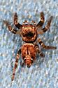 Jumping Spider - Evarcha? - Evarcha proszynskii - female