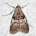 Pine Webworm Moth - Hodges #5595 - Pococera robustella