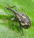 Weevil June 10 - Anthonomus