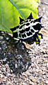 Spinybacked Orb Weaver - Gasteracantha cancriformis