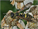 Weevil Wasp - Cerceris